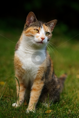 Cat stock photo, Front portrait of cat with gold eyes in grass by Juraj Kovacik