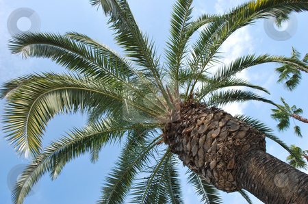 Palm Tree stock photo, A palm tree with the sky in the background. by Lucas Cobb