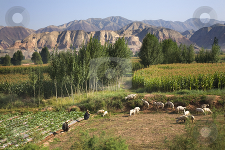 Chinese Farmers Peasant Herding Tending Sheep Lanzhou Gansu Prov stock photo, Chinese Farmers Peasants Tending Herding Sheep on farm crops with corn and mountains Lanzhou, Gansu Province China Please note no recognizable human face. by William Perry