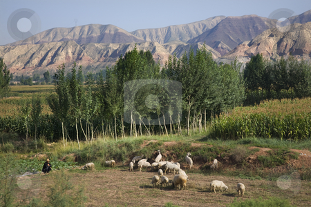 Chinese Peasant Sheepherder Crops Lanzhou Gansu Province China stock photo, Chinese peasant farmer herding tending sheep Lanzhou Gansu Province China 