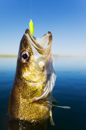 Walleye fishing stock photo, Close up shot of a walleye being caught by Steve Mcsweeny