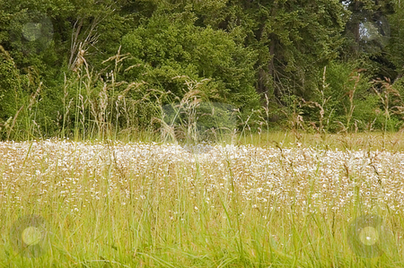 Beautiful Meadow with Many White Wildflowers stock photo, This photo is a beautiful meadow with white wildflowers and long grasses, with evergreen trees in the background. by Valerie Garner