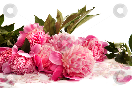 Peonies stock photo, Bouquet of pink peonies on a white background. by Sergey Goruppa