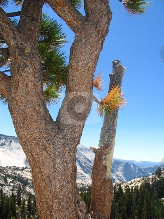 High Elevation Pine stock photo, A high elevation pine tree as found on the back route to Yosemite. by Kristine Keller