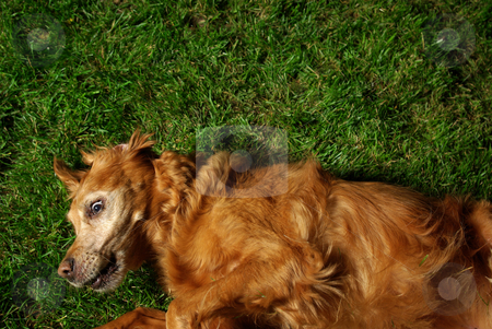 Rollin' stock photo, A golden retriever rolling on the grass, with a silly expression on her face. by Kristine Keller