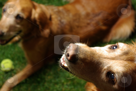 Golden Retrievers stock photo, Golden retrievers being adorable and well-behaved. by Kristine Keller