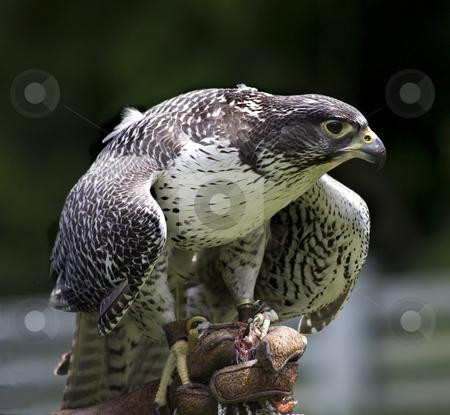Gyr Falcon Falco Rusticolus stock photo, Gyr Falcon Falco Rusticolus eating from hand by William Perry
