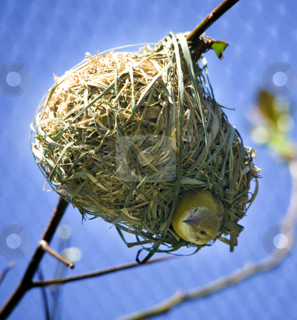 Masked Weaver Bird in Nest Looking Down stock photo, Masked Weaver Bird in Grass Ball Nest Looking Down on Branch by William Perry