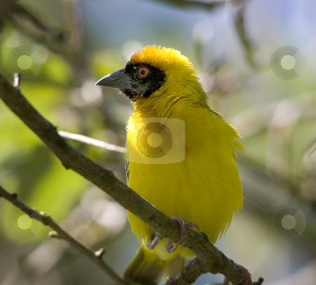 Masked Weaver Yellow Bird Red Eye stock photo, Yellow Masked Weaver Bird Red Eye with Feathers on Branch by William Perry
