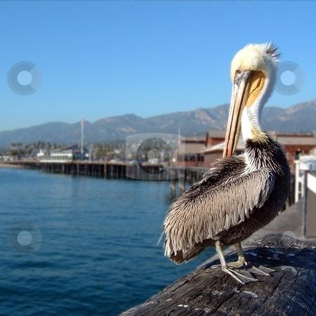 Pelican stock photo, Pelican sitting on a pier in Santa Barbara. by Henrik Lehnerer