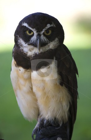 Spectacled Owl Close Up stock photo, Spectacled Owl, Close Up, Looking at Crowd by William Perry