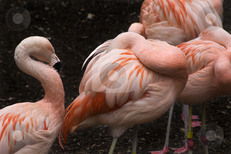 Pink Chilean Flamings and Feathers stock photo, Pink Flamingos and Feathers from Chjle, Phoenicopterus chilensis, against black background, Red Orange white and pink feathers.  Yellow eyes by William Perry