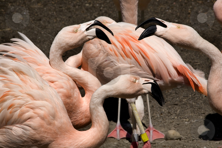 Here's Talking About It  Pink Chilean Flamingos Gossiping stock photo, Three Pink Flamingos from Chile Talking To Each Other, Phoenicopterus chilensis, Red Orange white and pink feathers.  Yellow eyes Black Beaks by William Perry