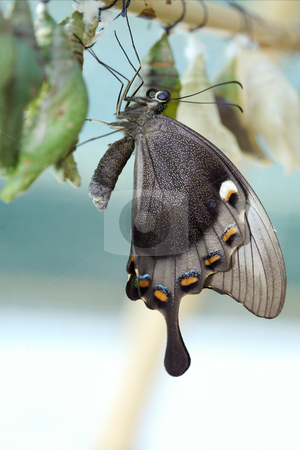 Papilio paris linnaens stock photo, The beautiful butterfly is considered a symbol of love. by Sergey Goruppa