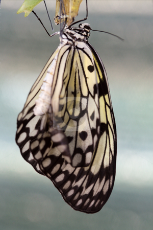 Butterfly stock photo, The beautiful butterfly is considered a symbol of love. by Sergey Goruppa
