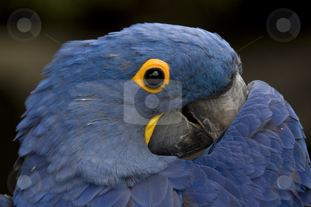 Blue Hyacinth Macaw Playing Peek A Boo stock photo, Blue Hyacinth Macaw Playing Peek A Boo Close Up Macro by William Perry