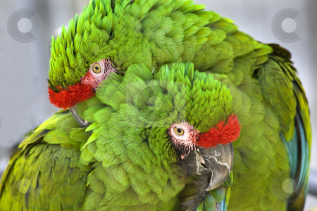 Cuddling Green Military Macaws stock photo, Cuddling Green Feathers Two Military Macaws Close Up Looking at You by William Perry
