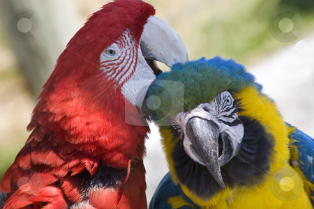 Grooming Green Wing Macaw Blue Gold Macaw stock photo, Grooming Green Wing Macaw and Blue Gold Macaw Close Up Looking at You  Different Species Enjoying Themselves Macaws are social animals and they like a lot of attention. by William Perry