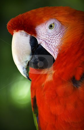 Scarlet Macaw Head Close Up Red Plumage Close Up stock photo, Scarlet Macaw Head White Beak Eye Red Plumage Close Up by William Perry