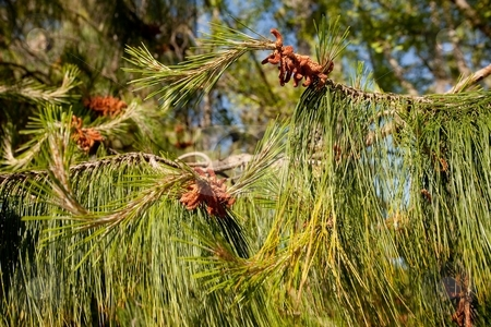 White Pine stock photo, Eastern White Pine (Pinus strobus) is a large pine native to eastern North America, occurring from Newfoundland west to Minnesota and southeastern Manitoba, and south along the Appalachian Mountains to the extreme north of Georgia. by Mariusz Jurgielewicz