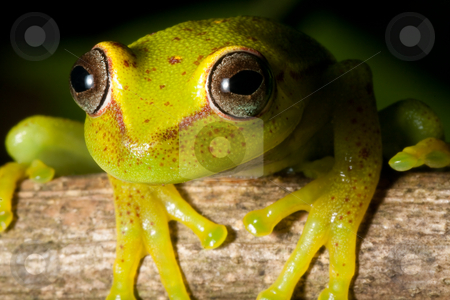 Hypsiboas cinerascens stock photo, Green tree frog Hypsiboas cinerascens in the Bolivian rain forest by Dirk Ercken