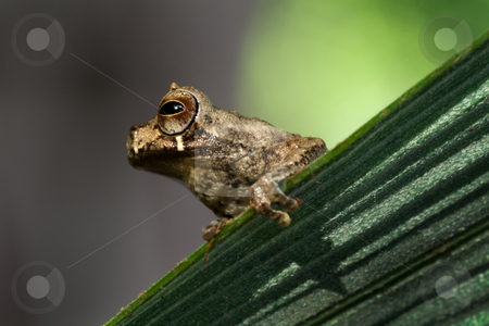 Dendrosophus parviceps stock photo, Portrait of a small tree frog Dendrosophus parviceps on a palm leaf in the Bolivian rain forest by Dirk Ercken