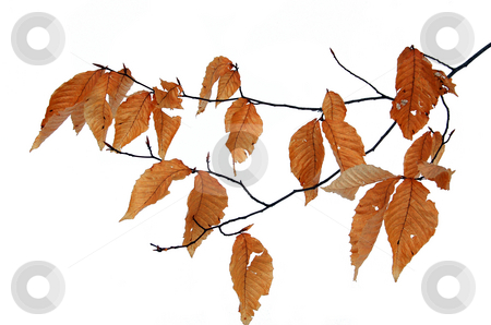 Dry leaves stock photo, Dry leaves in winter isolated by Pavel Cheiko