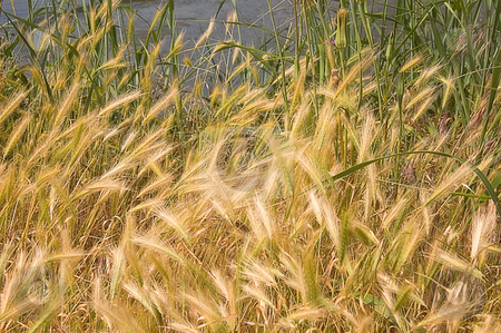 Beautiful Wheat Looking Grass stock photo, This shot features wild grass the resembles wheat, with water in the background. by Valerie Garner