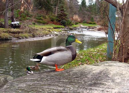 Drake stock photo, Drake on the pond shore by Pavel Cheiko