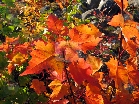Leaves closeup stock photo, Sunny day in maple forest in october by Pavel Cheiko