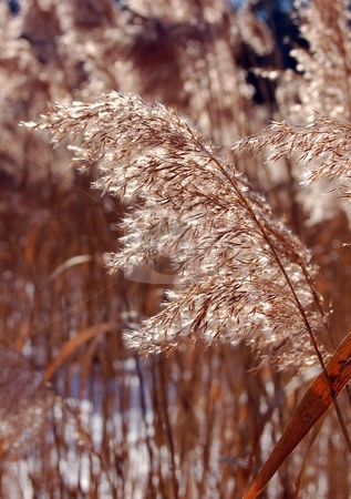 Dry plant stock photo, A dry plant in winter at the frosem marsh by Pavel Cheiko