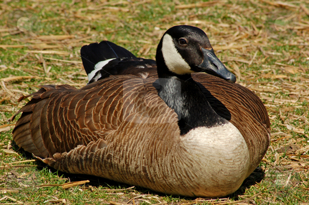 Canadian goose stock photo, Canadian goose on the ground by Pavel Cheiko