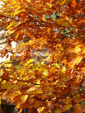 Leaves stock photo, Colorful leaves of maple tree in Toronto park by Pavel Cheiko