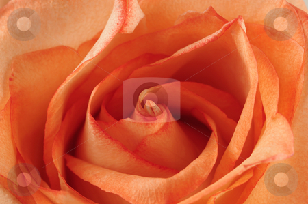 Close up of a red rose. stock photo, Red rose (abstract bacground texture photo). by Borislav Stefanov
