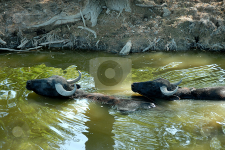 Buffalos in water stock photo, Two buffalos swimming in green river by riverbank by Julija Sapic