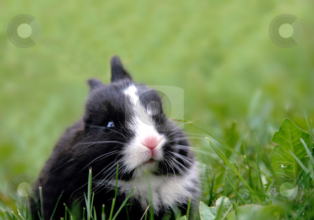 Black rabbit in grass stock photo, Small black rabbit at grass outdoor eating a leaf by Julija Sapic