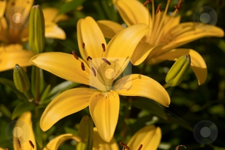 Lilly stock photo, The genus Lilium are herbaceous flowering plants normally growing from bulbs. They comprise a genus of about 110 species in the lily family, Liliaceae. by Mariusz Jurgielewicz