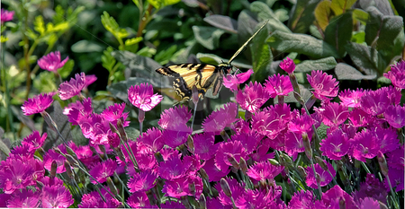 Monarch Butterfly on Pink Flowers stock photo, This monarch butterfly is feeding on some bright pink small flowers in this nature photo. by Valerie Garner