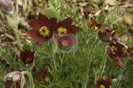Red flowers of a pasqueflower hybrid stock photo, Red flowers of a pasqueflower (Pulsatilla patens) hybrid open in early spring by Stephen Goodwin