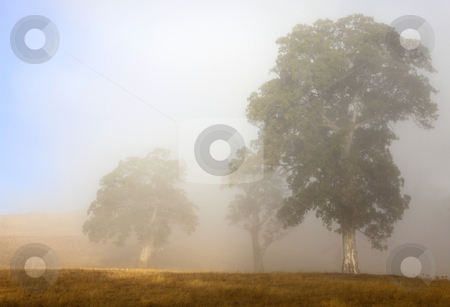 Emerging from the Fog stock photo, White Gum trees in the Adelaide Hills emerge from the morning fog as the sun rises. by Mike Dawson