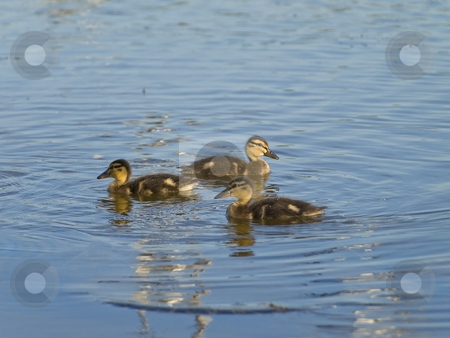 Ducklings stock photo, Little ducklings swimming at the blue lake by Sergej Razvodovskij