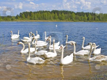 Swans stock photo, Many white swans swimming at the blue lake in wild nature by Sergej Razvodovskij