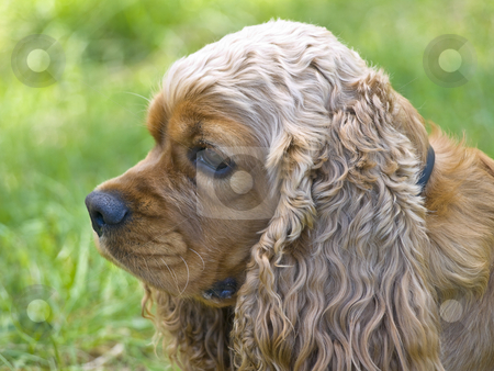 Dog stock photo, Spaniel dog head against the green grass by Sergej Razvodovskij