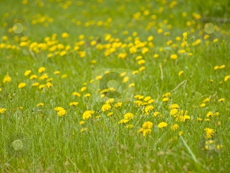 Yellow dandelions stock photo, Many yellow spring dandelions at the green grass by Sergej Razvodovskij
