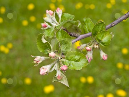 Flowers against dandelions stock photo, Spring flowers against the green grass with dandelions by Sergej Razvodovskij