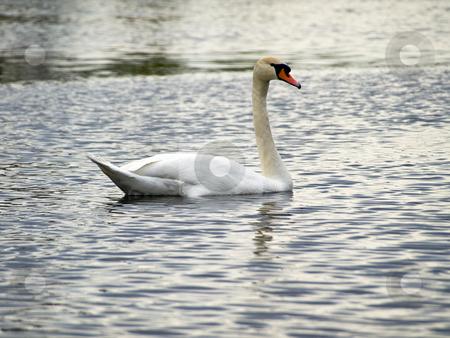 Single swan stock photo, Single swan swimming at the ripple dark water by Sergej Razvodovskij