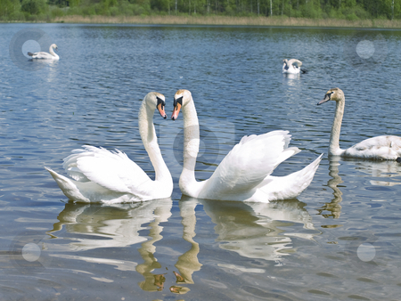 Swans in love stock photo, Two romance swans swimming with other swans at the blue lake by Sergej Razvodovskij