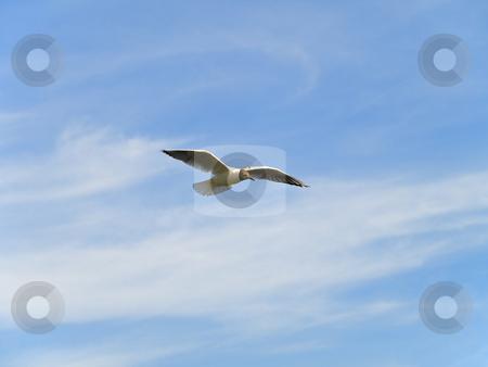 Single flying seagull  stock photo, Single flying seagul against the blue sky by Sergej Razvodovskij