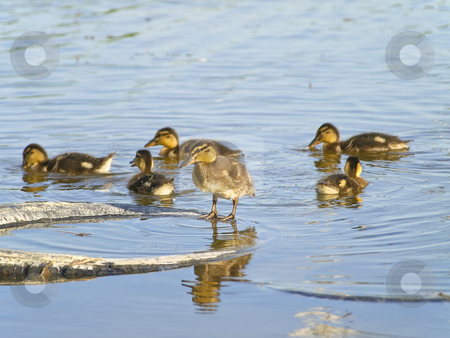 Many ducklings stock photo, Little ducklings swimming at the blue lake by Sergej Razvodovskij