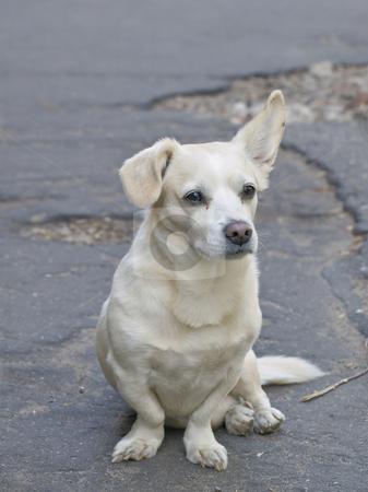 Mongrel dog stock photo, Lonely mongrel dog sitting on the road by Sergej Razvodovskij